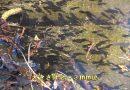 「宝満山のヒキガエル」動画(2)オタマジャクシ